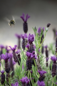 lAVENDER FOR mIGRAINES