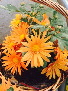 Chrysanthemums In A Wicker Basket